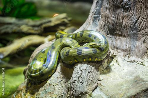 Green anaconda - 81126138