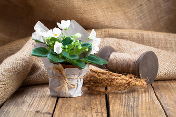 white Saintpaulias flowers in paper packaging, on sackcloth, woo