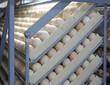 Chicken Eggs in Incubator - 81129172