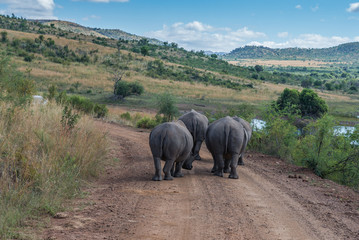 Rhinoceros. Pilanesberg national park. South Africa.