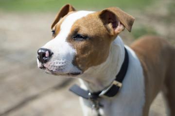 Staffordshire terrier dog