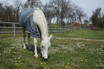 white horse in the meadow eating