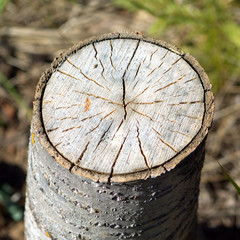 Stump of sawn aspen with annual rings. Photo closeup