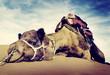 Leinwanddruck Bild - Animal Camel Desert Resting Concept