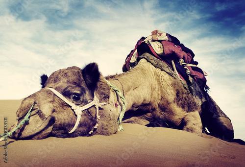 Foto op Plexiglas Zandwoestijn Animal Camel Desert Resting Concept