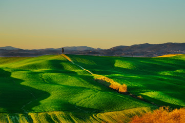 Tuscany, cypress tree on hill and green fields on sunset. Siena.
