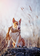 The attentive bull terrier in a checkered scarf