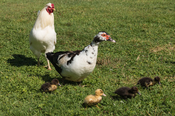 Muscovy duck with ducklings on spring meadow