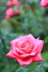 雨に濡れる旧古河庭園のバラ マリア カラス(品種名はイタリアのオペラ歌手の名前。芳香あり)