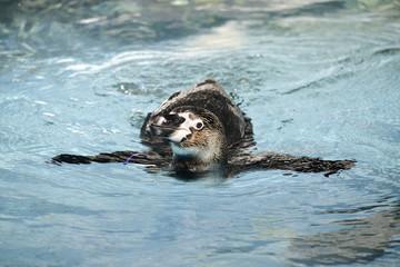 Swimming Penguin