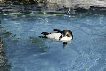 Penguin Playing in the Water