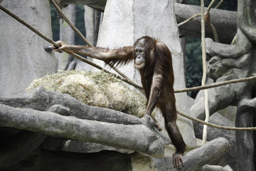 Young Orangutan in Tree