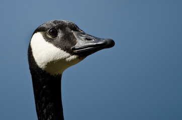 Close Up of Canada Goose Looking To The Sky