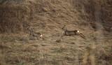 Roe Deer Fleeing