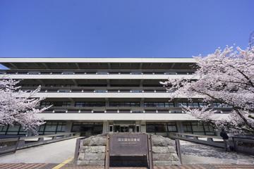 国会図書館 満開の桜 ソメイヨシノ