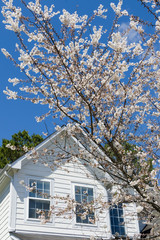 Blooming cherry tree in front of the house