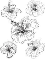 Hibiscus flower sketches