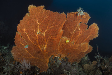 Orange Seafan Underwater in Andaman sea, Thailand