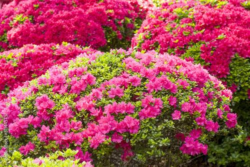 Papiers peints Azalea ピンクと赤のツツジの花