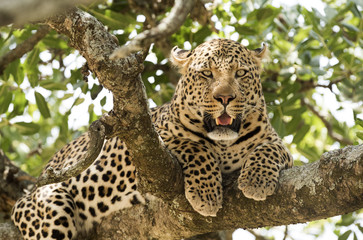 Serengeti National Park, leopard