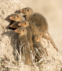 Serengeti National Park, dwarf mongoose