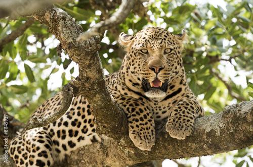 Fotobehang Luipaard Serengeti National Park, leopard