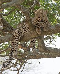 Africa, Tanzania Serengeti National Park, leopard