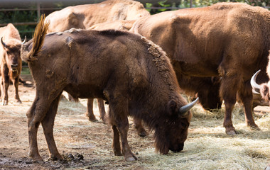 herd of european bisons