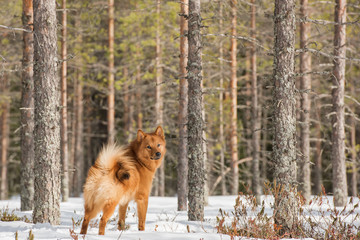 Finnish Spitz in the forest on a bright winter day