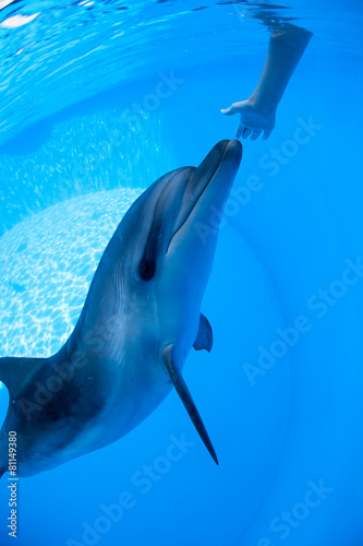 Fototapeta Dolphin swims under the water