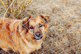 red dog pooch with sad eyes behind wire mesh poster