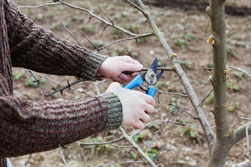 farmer hands cuts with pruning shears fruit trees in garden