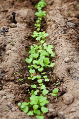young green sprout in the soil, spring bed
