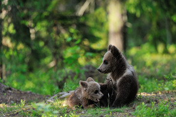 Bear cubs in forest