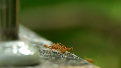 weaver ants are carrying the dead ant on the floor