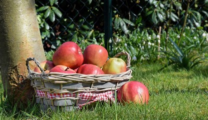 A basket of red apples next to a tree in an orchard
