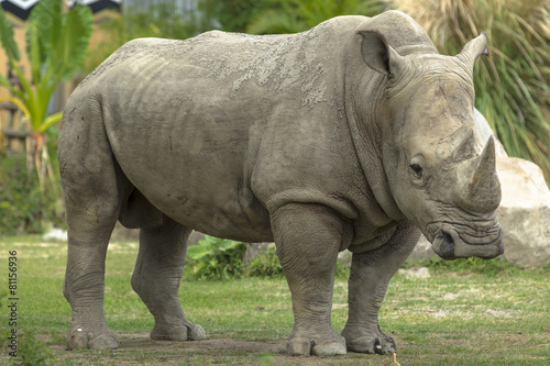 Foto op Canvas Neushoorn rhino in side view
