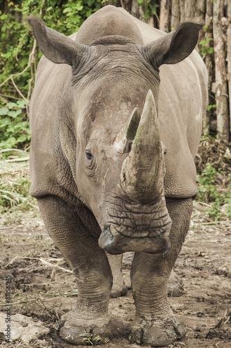 Rhino rhino with one horn