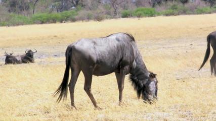 Wildebeest feeding