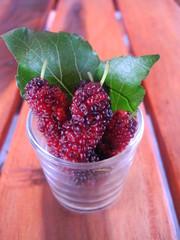 Mulberry (Morus alba Linn.).