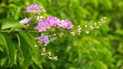 Thai Bungor flowers are shaking with gently wind