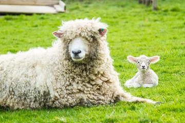 Sheep and her newborn lamb