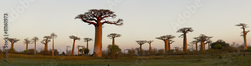Papiers peints Sauvage Baobab Alley - Madagascar
