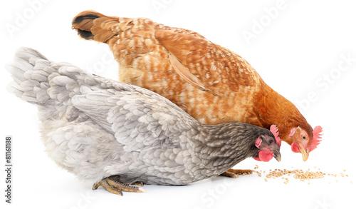Plexiglas Kip Two hens and grains