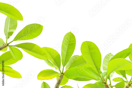Foto op Plexiglas Frangipani Plumeria leaves isolated on white background