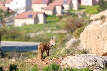 Red fox is standing near village