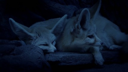 Desert Fox Couple Laying Together In Den