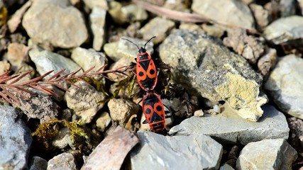 Two copulating firebugs