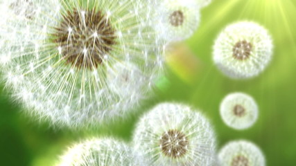 Falling dandelions. 3d animation, seamless loop