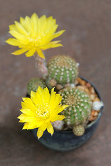 Cactus with yellow flower in a pot.